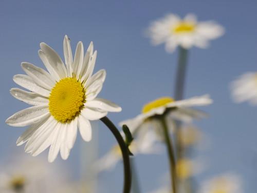 Margerite Ox-eye Daisy Spring Flower Frühling Blume Blüte Natur