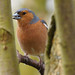 Chaffinch hiding at Strumpshaw Fen