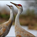 Small photo of Two Sandhill Cranes Looking Up - Grus canadensis