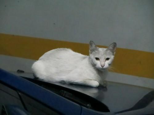 Cat On Hood