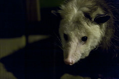 animal(1.0), opossum(1.0), virginia opossum(1.0), possum(1.0), common opossum(1.0), mammal(1.0), fauna(1.0), close-up(1.0), whiskers(1.0),