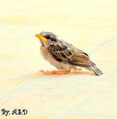 animal, sparrow, ortolan bunting, perching bird, wing, fauna, emberizidae, beak, house sparrow, brambling, bird,