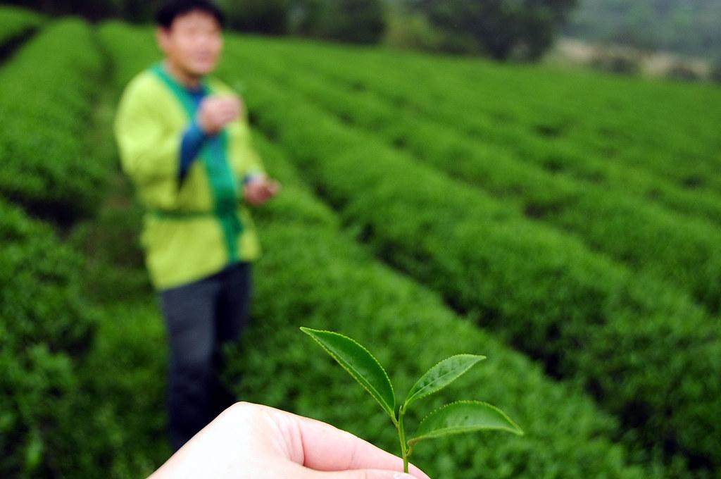 茶裏王北茶之旅 - 三水茗園