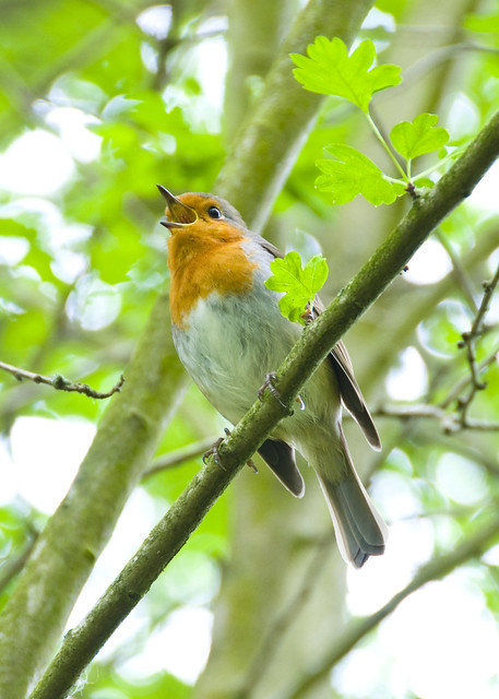 Robin Singing in a Hawthorn Tree (crop)