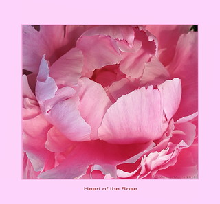 Peony rose   -  Heart of the Rose