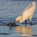 Snowy Egret fishing (Explore)