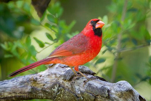 Northern Cardinal - LaffIte's Cove Spring 2014