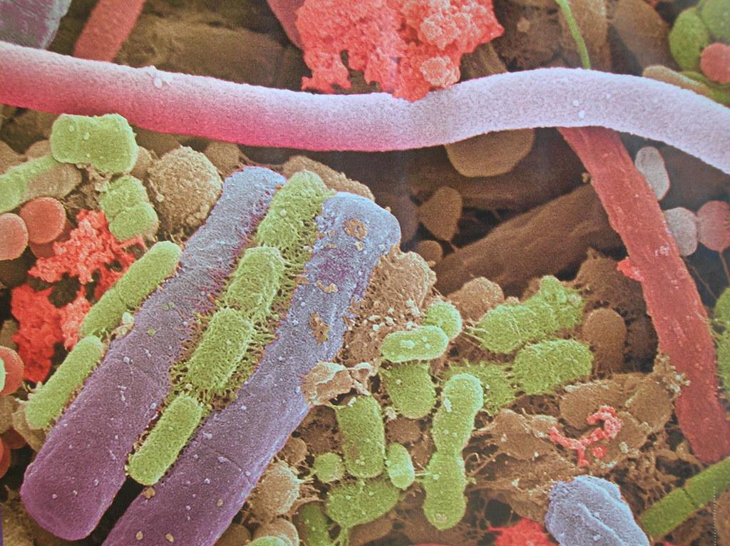 Placa bacteriana microscopio