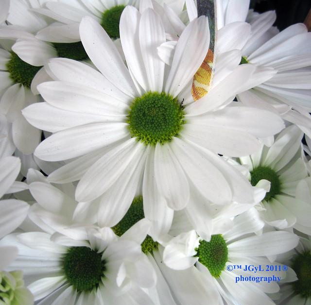 Margaritas Flor