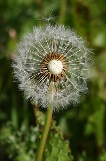 Dandelion Seed Head (close up)
