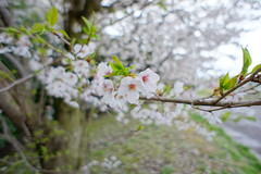 桜の花と青葉