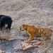 Bear Tiger fight