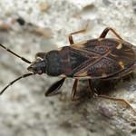 gyakori avarbodobács - Eremocoris podagricus