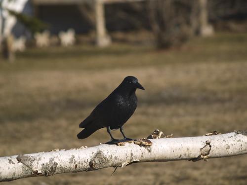 folkart noel crow