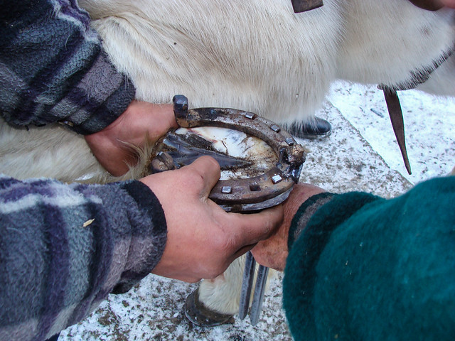 Village blacksmith fitting horse shoe