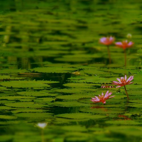 india green pond dof waterlily kerala calicut 374 aphotoshooter