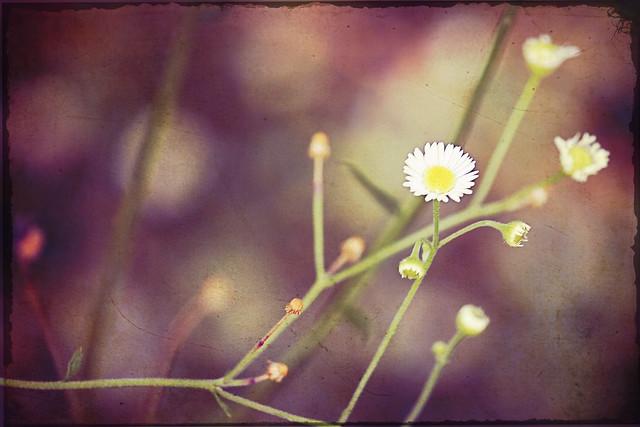 104/365.2011 {Vintage Flower}