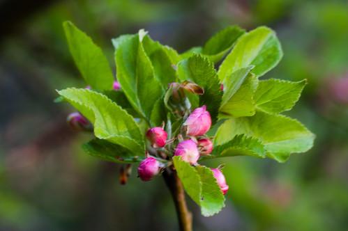 Apple bud opening