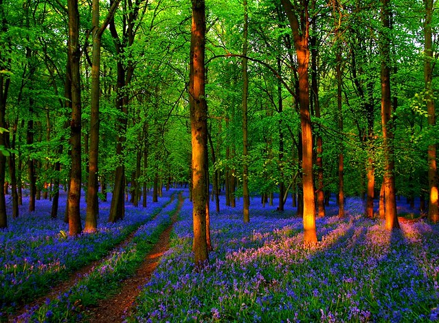 Bluebells are here again.