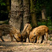 Three wild boar piglets at the Veluwe