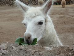 alpaca(0.0), mane(0.0), donkey(0.0), mountain goat(0.0), mustang horse(0.0), pasture(0.0), animal(1.0), llama(1.0), fauna(1.0), camel-like mammal(1.0),