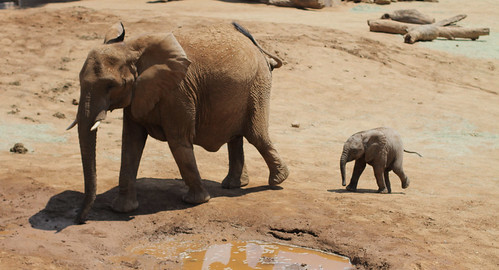 San Diego Wild Animal Park - Elephant Mother and Baby by hall.chris25