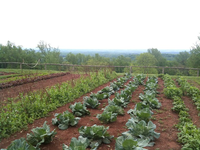 Vegetable garden cabbage row flickr photo sharing for Garden pictures