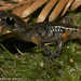 Oregon Ensatina - Photo (c) Todd Pierson, some rights reserved (CC BY-NC-SA)