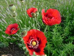 Poppy red flower