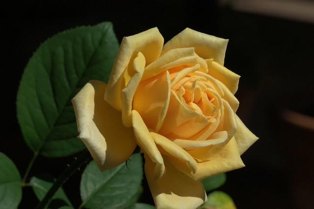 Rosa in giallo