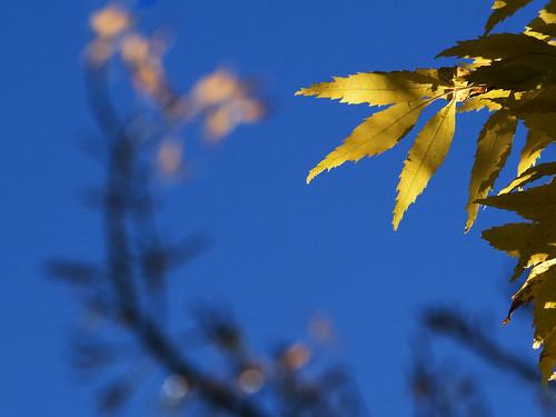 blue autumn sky fall colors beautiful leaves yellow bravo colours nz otago dunedin lovely aotearoa yellowonblue