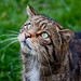 British Wildlife - Scottish Wildcat by miacat63