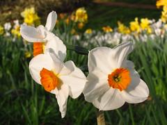 Daffodils in Cannizaro Park, Wimbledon