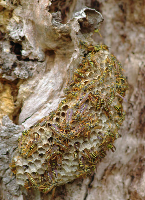 Wasp Nest in tree trunk | Flickr - Photo Sharing!