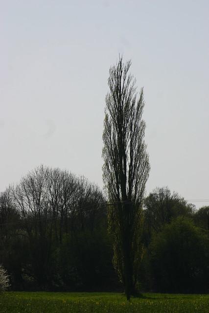 Lone Poplar