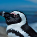 Spheniscus demersus - The Black-footed Penguin
