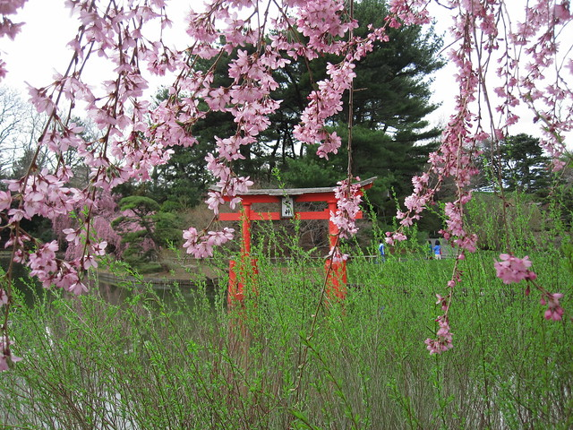 Tori with the first blossoms of Prunus 'Pendula' in the Japanese Hill-and-Pond Garden. Photo by Rebecca Bullene.