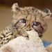 Kiburi the baby Cheetah