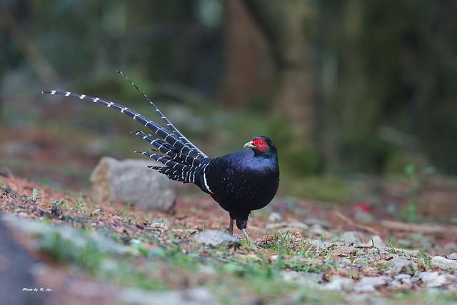 帝雉-Mikado Pheasant -台灣特有種