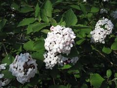 blossom(0.0), hydrangea serrata(0.0), lilac(0.0), lantana camara(0.0), hydrangea(1.0), shrub(1.0), flower(1.0), guelder rose(1.0), plant(1.0), flora(1.0),