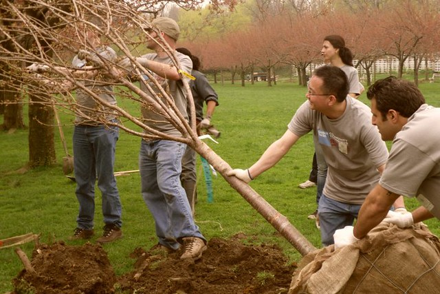 Moving the cherry tree. Photo by Kathryn Littlefield.