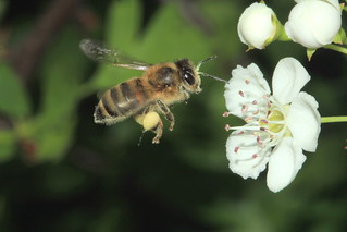 Bee Hawthorn 5090