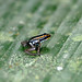 Striped Poison-Dart Frog - Photo (c) Dries Nys, some rights reserved (CC BY-NC-SA)