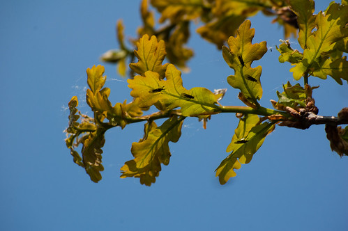 Oak leaves with tiny insects