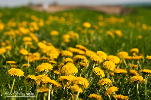 sea of dandelion