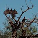 Vultures - Buitres; al sur de La Mesita, al sur de Sahuaripa, Sonora, Mexico por Lon&Queta