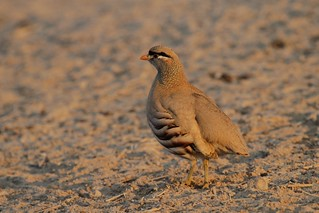 See-see Partridge, Ammoperdix griseogularis
