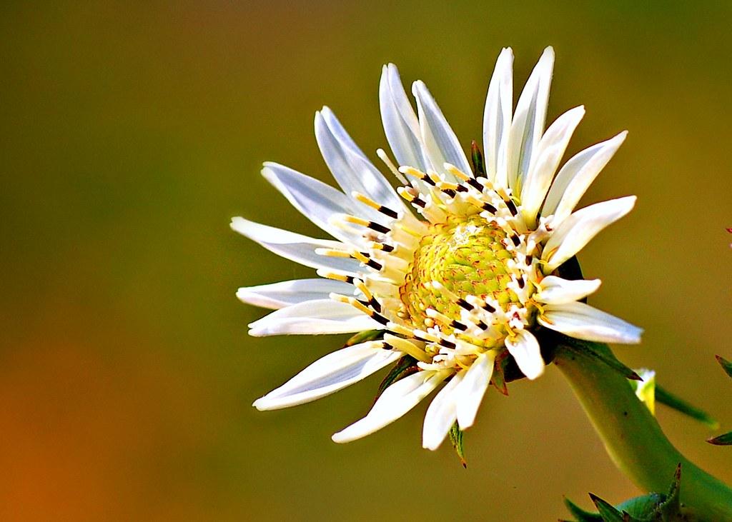 List of white flowers white flowers white flowered rosinweed silphium albiflorum mightylinksfo
