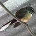 South Island Fantail - Photo (c) Jon Sullivan, some rights reserved (CC BY-NC)