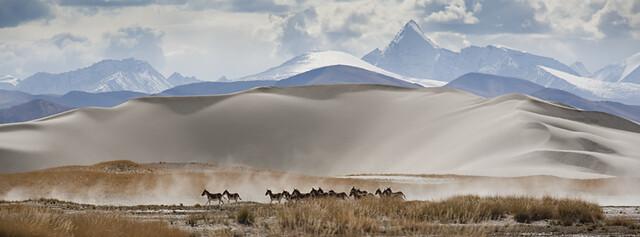 Tibetan Wild Horses